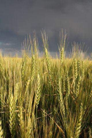 Springwheat