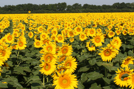 Sunflowercropstandoutweb