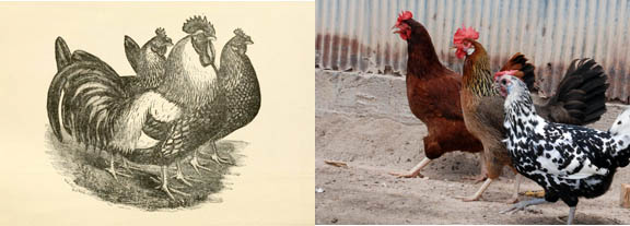 Duelingchickens